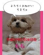 ペキニーズ×トイプードル=桃ちゃんブログ