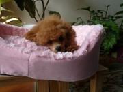我が家の愛犬トイプードルの妊娠・出産記録
