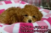 〜TP.Mariange犬舎〜鹿児島トイプードル、マルチーズ