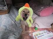 柴犬ひなのひなたぼっこ。