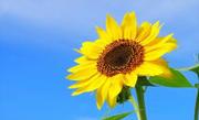 ひまわり社会保険労務士事務所のブログ