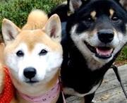 柴犬動画おもしろ.com