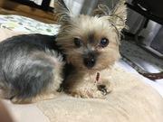 パグ脳炎で余命宣告、愛犬「ミルキー」闘病記ブログ