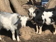 colomo-goatさんのプロフィール
