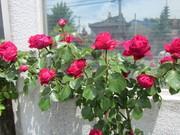 薔薇に癒されて