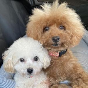 保護犬トイプードル・サラの日記