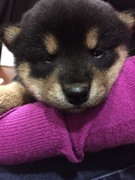 黒柴犬「くーすけ」のブログ