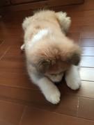 むくげの秋田犬リキ。