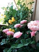 Tef's Garden 〜ベランダでバラと暮らす〜