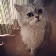 ふわふわ綿菓子♪ペルシャ猫といっしょ