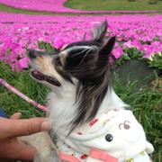 愛犬モコ(ポメチワ)ブログ