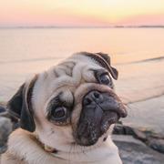 Bayside Pug Life