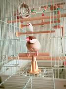 文鳥ピノとハルの日記