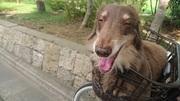 老犬ミニチュアダックスフンドと虚弱な私の日々