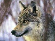 Un lupo selvaggio