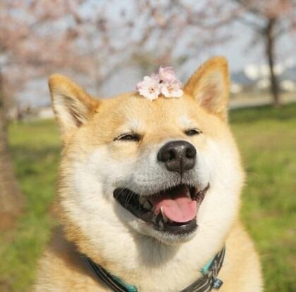 柴犬さんのプロフィール