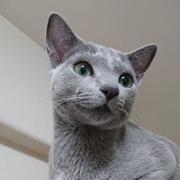 我が家に猫がいる:ロシアンブルーとの生活