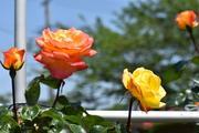 「バ〜ラが咲いた、バ〜ラが咲いた」のバラ日記