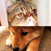 柴犬とぶさかわ猫のぺちゃたわチャンネル