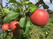 北海道余市町の果物直送します!清久果樹園