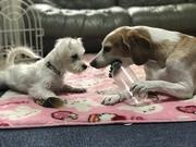 夢の多頭飼い マーロとコキア 育犬奮闘日記