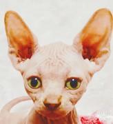 スフィンクス・猫。ネコ・ぬこ☆彡