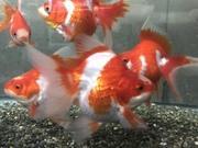 ナルキンの金魚blog