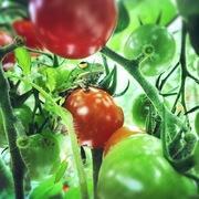 トマト直送農家のブログ