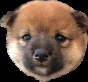 柴犬(豆柴)みかんのしつけと成長ブログ