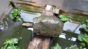 イシガメの水換えいらずの飼育方法