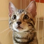 ベンガル猫のテトとピノ