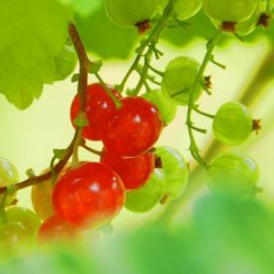 赤い実のランプ