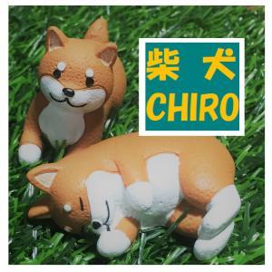 柴犬CHIRO