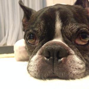 ✨ボストンテリアもこ(♂)と犬のお役立ち情報を発信するブログ✨