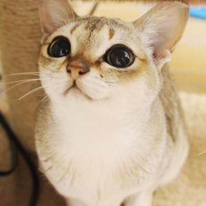 シンガプーラ猫の庭(子猫ブログ)