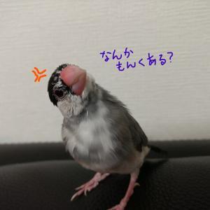 初心者が桜文鳥飼いました