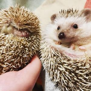 ハリネズミのミント&ライチ