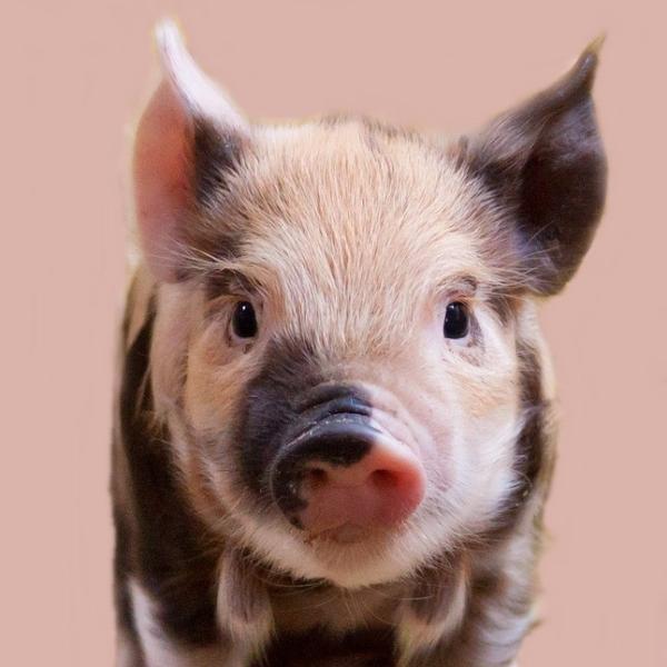 『豚カツベーコン。』