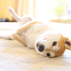我が家の柴犬図鑑