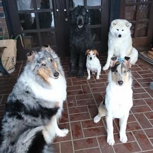 大きいプードル小さい秋田犬