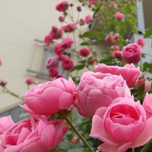 バラを咲かせることが好き。