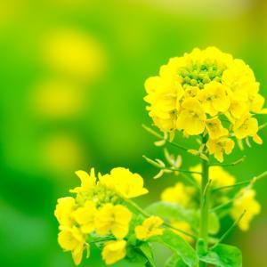 菜の花〜小さな幸せ〜