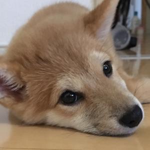 【豆柴】南国 小麦ちゃん(柴犬との生活ブログ)