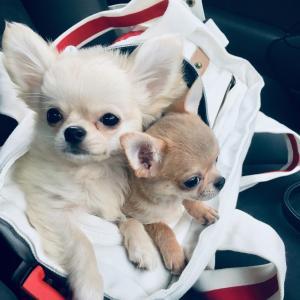 に子&もち双子チワワのブログ