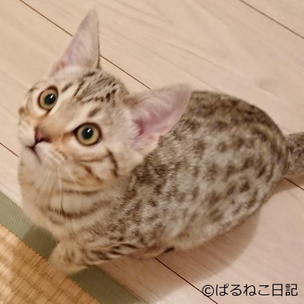 ぱるねこ日記