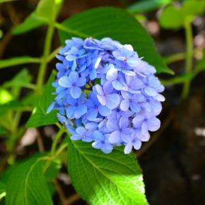 紫陽花の彩り