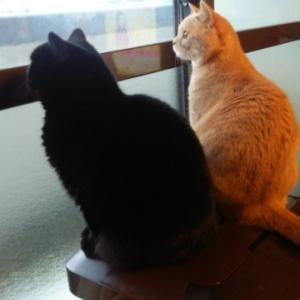 ブリティッシュショートヘア猫marumame