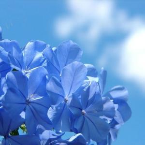 ロイヤルブルーに花束を