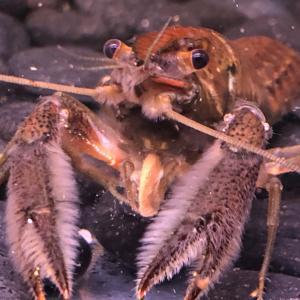 crayfish(ザリガニ)の世界