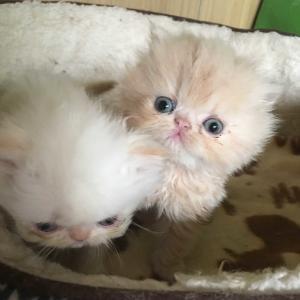 ペルシャ子猫と田舎暮らし☆お元気ですか